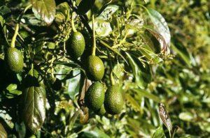 Avocados and the environmental impact